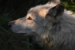 Austin-Alexander-Wolf-In-the-Light