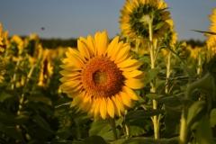 Nasrin-Musa-Sunflower