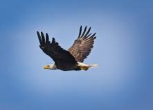 Sue-Bleiweiss-Bald-Eagle-in-Flight