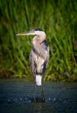 Sue-Bleiweiss-Great-Blue-Heron