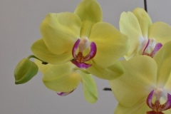 Suzanne-Sutherland-Yello-Orchid